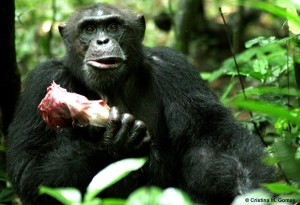 chimps 300x205 Why Im No Longer Vegetarian