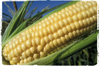 GMO Corn GMO: Boon, Bust or Blight?