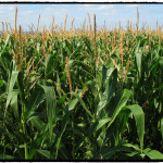 GMO: Boon, Bust or Blight? (2 of 3)