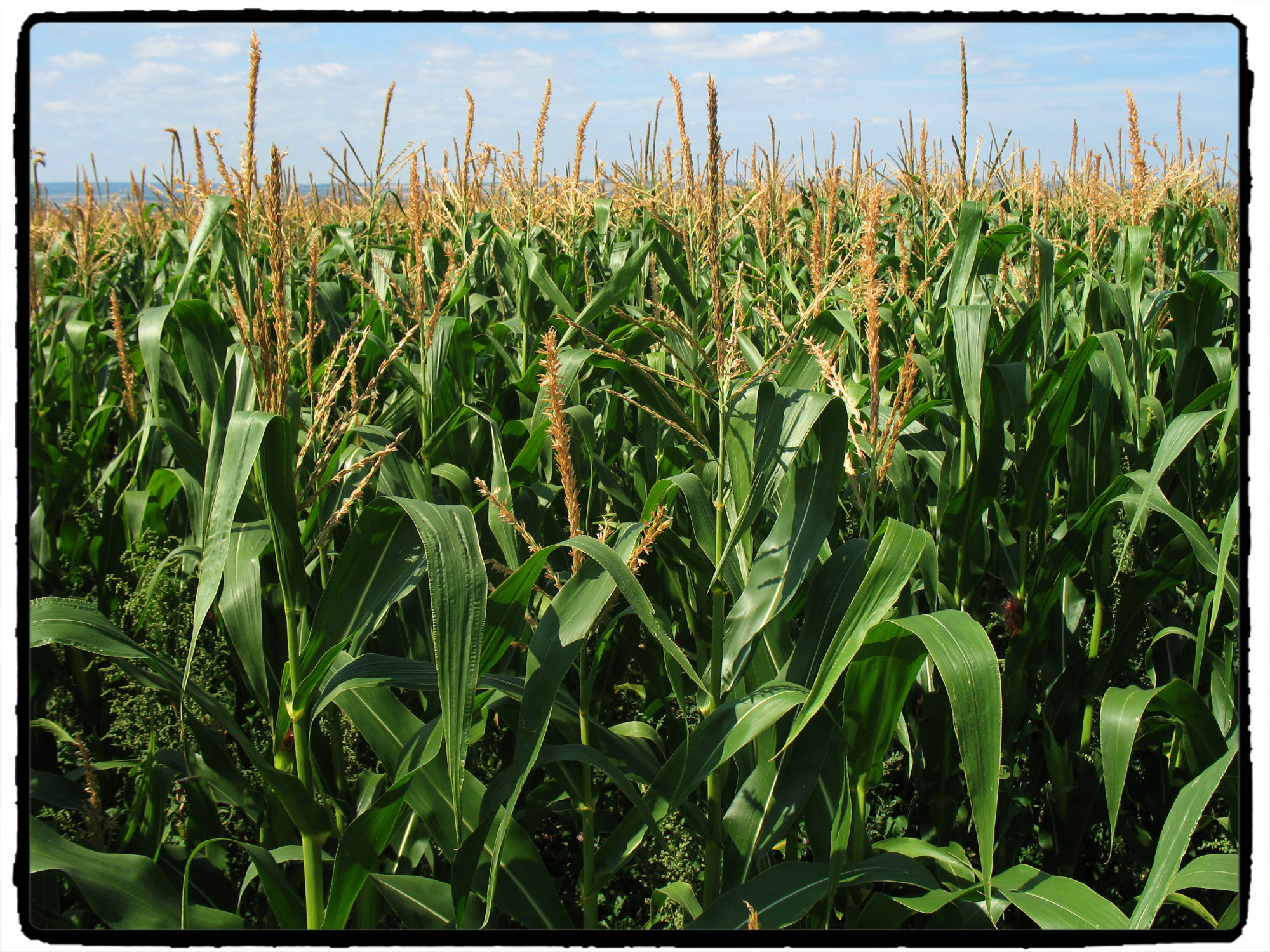 gmocornfieldfinal GMO: Boon, Bust or Blight? (2 of 3)